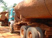 Forêts tropicales humides bassin Congo: arbres vieux 2500 abattus