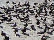 Confinement grippe aviaire: pigeons français sont colère.