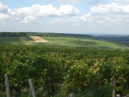 Chablis vigne 4