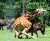 Ane attaqué par une girafe
