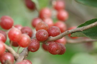 Autumn_olive_olivier_dautomne_grose