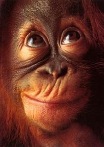 Orangs-outangs en voie d'extinction à cause de l'huile de palme !