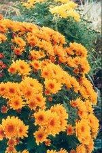 Chrysanthme_pomponette_01