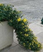 Chrysanthme_cascade
