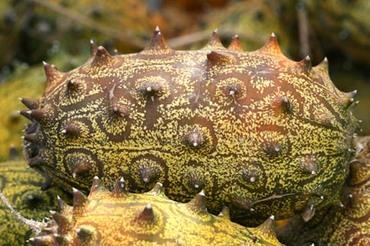 African_horned_cucumber_horned_melo