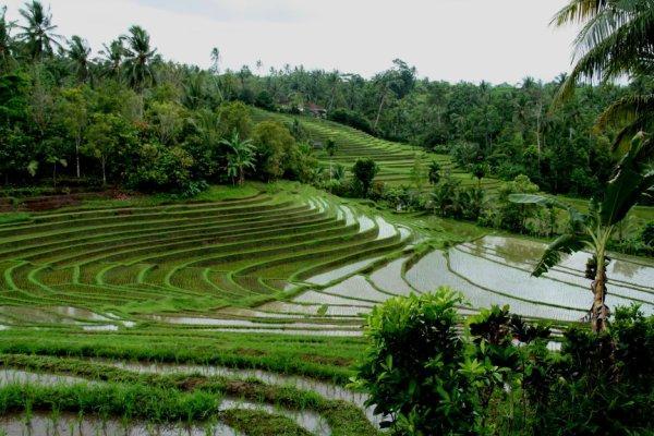 La culture du riz de a z en images paperblog - Culture de l echalote ...