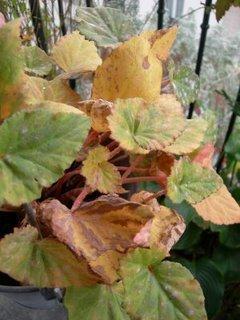 Begonia tubereux faut il encore arroser ou non paperblog - Begonia d interieur arrosage ...