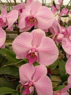une orchidee le phalaenopsis sans aucun doute paperblog. Black Bedroom Furniture Sets. Home Design Ideas