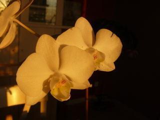 Orchidee-phalaenopsis_01