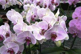 les orchid es phalaenopsis d couvrir. Black Bedroom Furniture Sets. Home Design Ideas