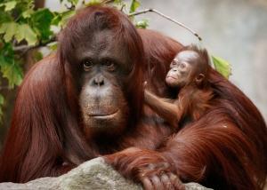 L'UE pourrait bannir la vivisection sur les grands singes