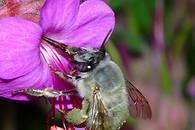 abeille-sauvage.jpg