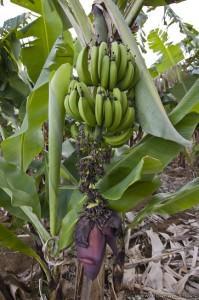 regime-bananier