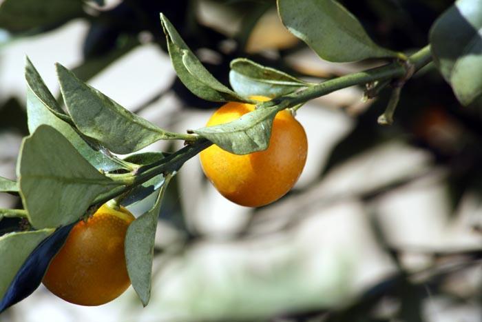 Kumquat rond
