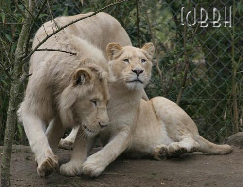 Le Retour Du Lion Blanc  [HDTV] [FRENCH] [Multi]
