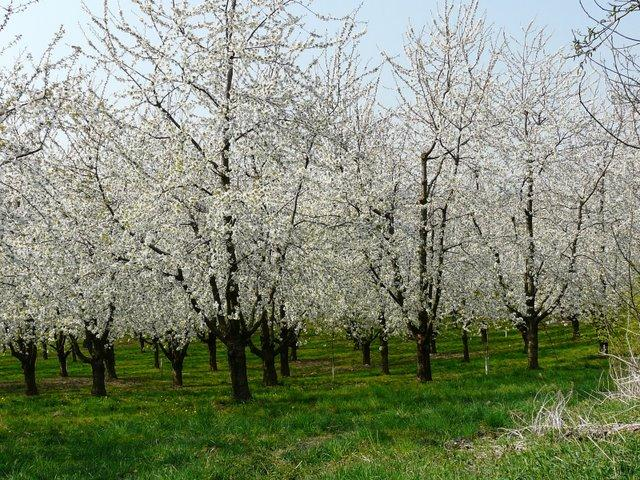 Paysages de la for t noire au printemps paperblog - Greffe du cerisier au printemps ...