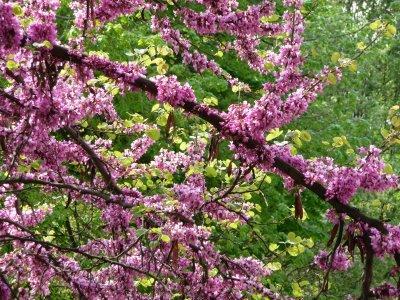 arbre de judee : fleurs sur tronc et branches - paperblog