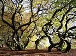 Faux Verzy, arbres magiques montagne Reims
