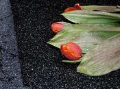 Dernières tulipes Cracovie