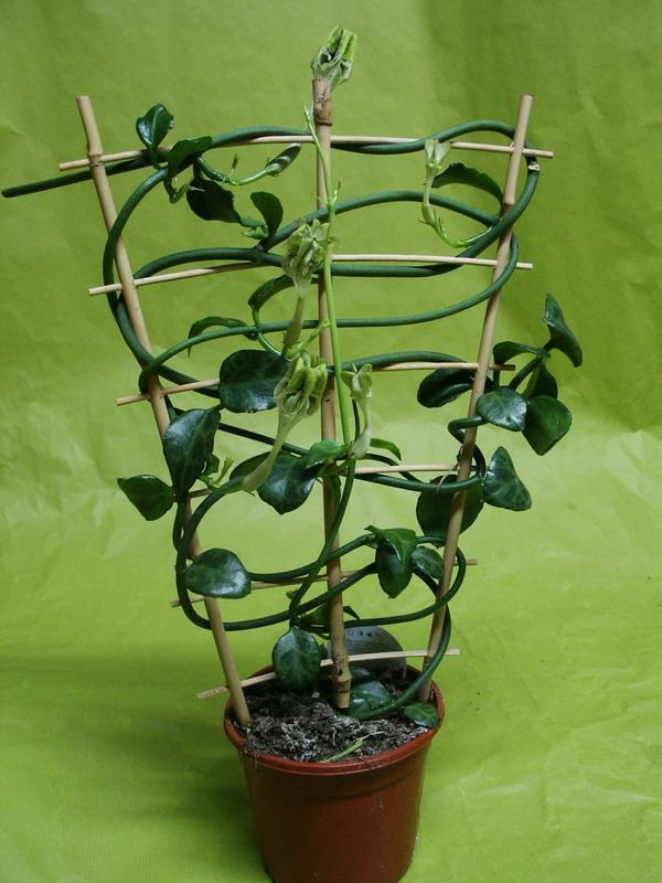 Une plante originale le c rop gia paperblog for Plante originale