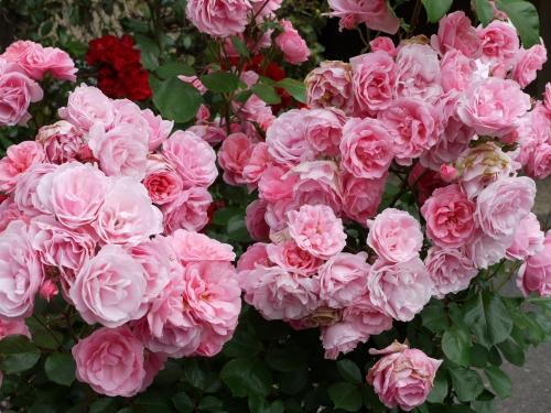 un parterre de roses d couvrir