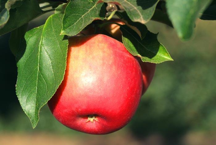 Apple pomme de moisson