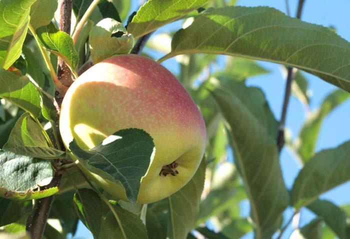 Apple delbardestivale pomme