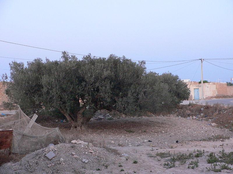 Huile d'olives en Tunisie : la meilleure !
