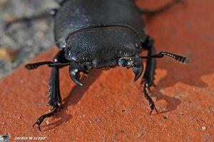 Tête de Petite biche (Dorcus parallelipipedus)