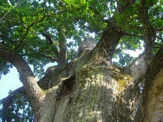 Tamme-Lauri, le plus gros chêne d'Estonie