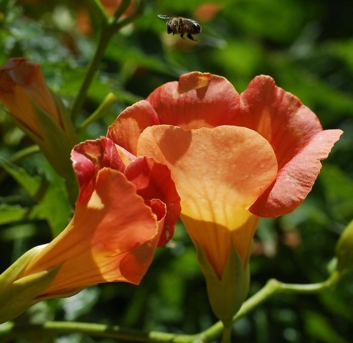En vol, l'abeille cherche son terrain d'atterrissage