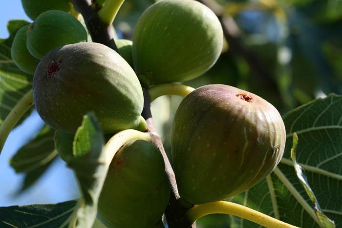 Figue d t au jus de gingembre paperblog - Quand cueillir les figues ...