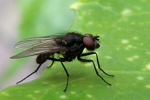 Les mouches maurice car me lire - Pourquoi les mouches piquent ...