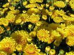 Chrys-jaune