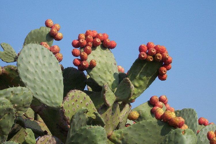 Fichier:Indian Fig - Opuntia ficus-indica.jpg