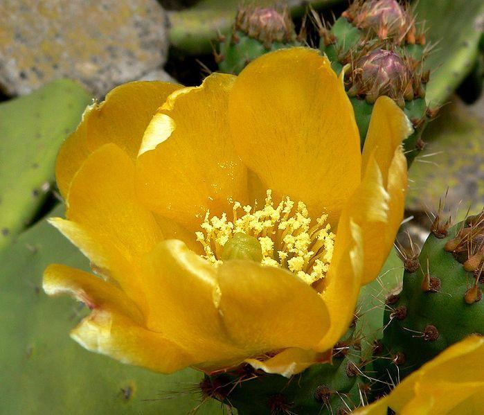 Fichier:Opuntia ficus-indica 3.jpg
