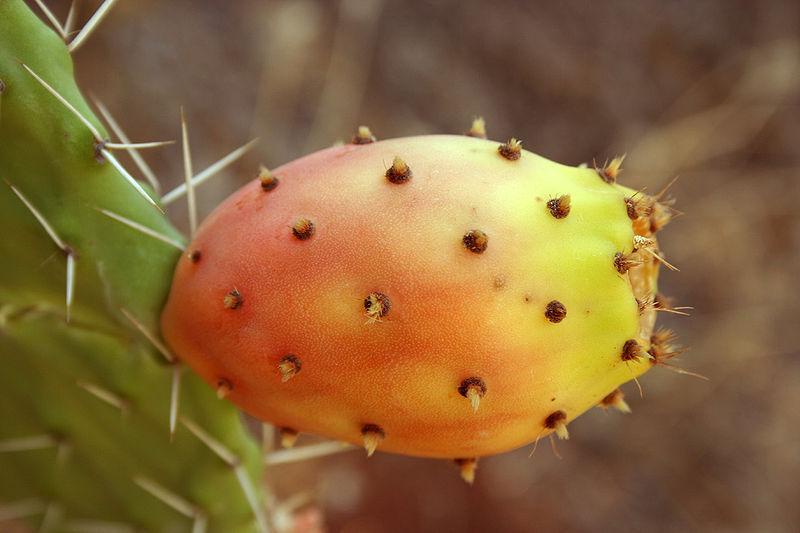 Fichier:Opuntia ficus-indica fruit9.jpg