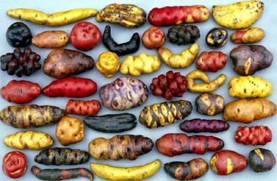Perou pommes de terre 02.jpg