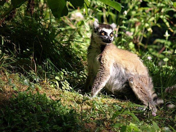 Lémur catta ou Maki mococo