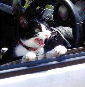 chat_en_voiture