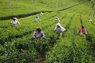 Durabili-thé Challenge : Et si on partait en Inde vous et moi… juste pour vérifier comment le thé arrive dans notre tasse !