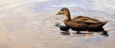 Temps de canard (photos)...