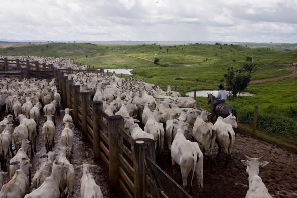 Cattle ranching survey Para State, Amazon Rainforest