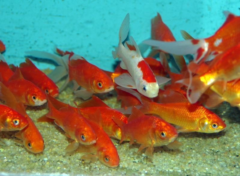poissons-rouge-bassin