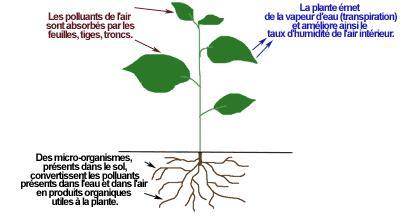 schéma-plantes-dépolluantes