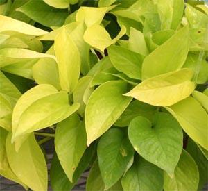pothos-Lime