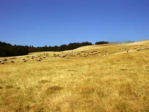 alpage transhumance brebis mouton berger patou secheresse grillee paille regain foin fauche feu incendie paysan agriculteur
