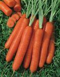 carotte nantaise ameliore