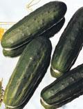 concombre poinsett