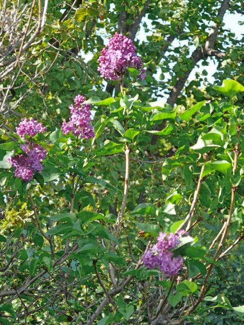 Journal du 16 octobre 2009 quand les poiriers et les lilas fleurissent paperblog - Quand tailler les lilas ...